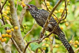 eLanka | Of Kohas and Cuckoos-by Dr Rohan H Wickramasinghe
