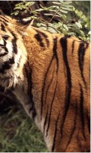 19 amazing tiger facts for Global Tiger Day | WWF-Canada