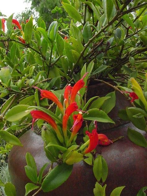pictures of lipstick plant plantfiles pictures lipstick plant basketvine basket vine aeschynanthus speciosus by htop