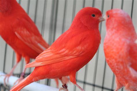canary color silva s birds color canaries 1