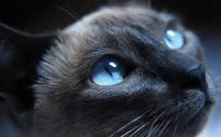 blue eyed cat cat with blue warrior cats forever wallpaper