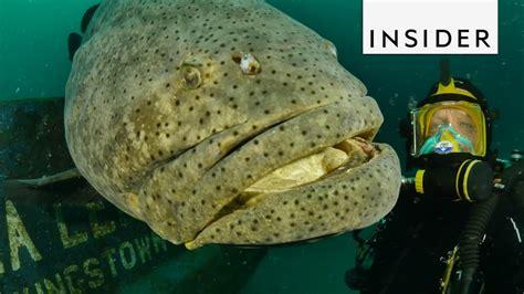 grouper fish goliath meet
