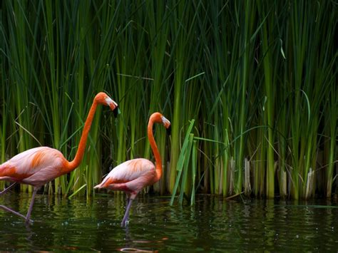 bmr 11 pink animals zoo park flamingo wallpapers pink birds wallpapers