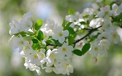 Cherry Flowers Blossoms Wallpapers Flower Blossom Backgrounds