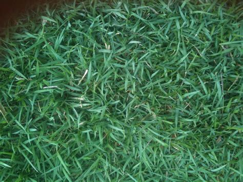 different types of grass different types of bermuda grass pictures to pin on pinterest pinsdaddy