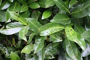 Kirschlorbeer Braune Blätter : eine neue pilzkrankheit am kirschlorbeer ~ Lizthompson.info Haus und Dekorationen