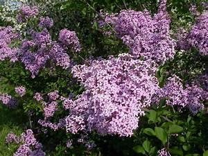Taille Du Lilas Des Indes : taille du lilas espace pour la vie ~ Nature-et-papiers.com Idées de Décoration