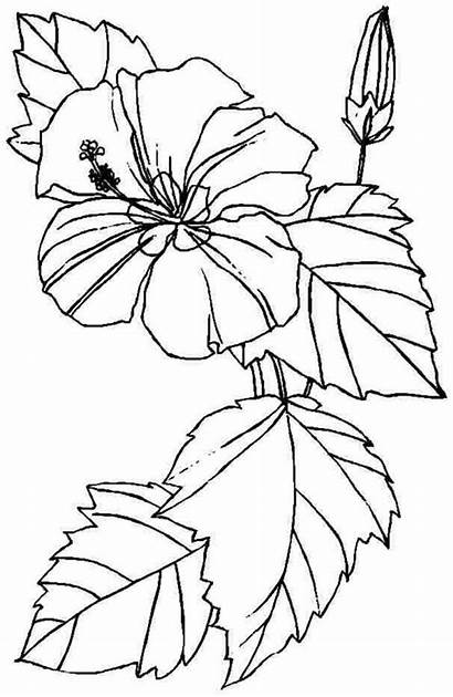 Coloring Flower Pages Printable Hibiscus Flowers Sheets
