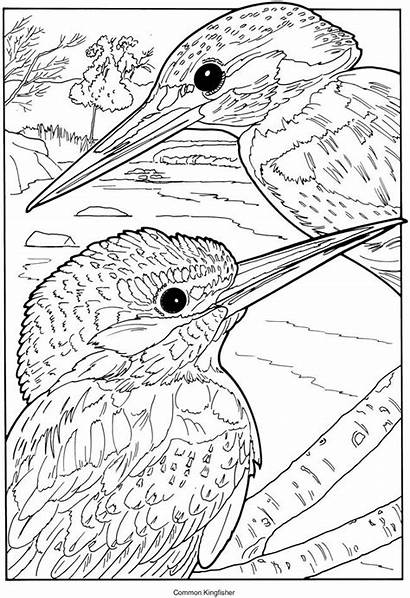 Coloring Kingfisher Birds Pages Common Exotic Adults