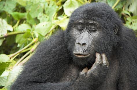 Highlands Uganda Gorilla