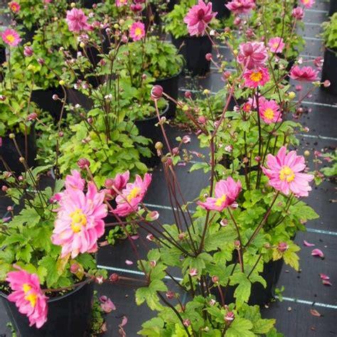 Garten Herbst Anemone by Anemone Pamina Anemone Japonica Pamina G 252 Nstig Kaufen