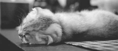 Black And White Cat Gif  Find & Share On Giphy