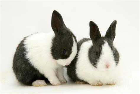 razas de conejos dutch holandes