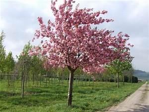Sakura Baum Kaufen : japanischer kirschbaum kaufen prunus japanischer kirschbaum stockfotos und japanische bl ~ Frokenaadalensverden.com Haus und Dekorationen