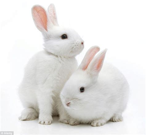 Rabbit Images Desperate Hunt For Vaccine As Highly Contagious Rabbit Rhd