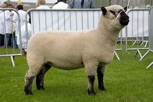 Sheep Breeds - Veterinary Clinical Science 5113 with
