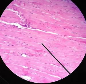 Cardiac Muscle Microscope | Car Interior Design