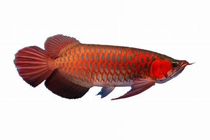 Arowana Fish Silver Tank Behavior Diet Care