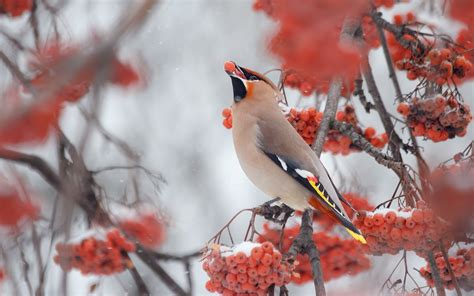 bohemian waxwing  winter branch hd wallpaper