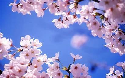 Blossom Cherry Backgrounds Flower Flowers Widescreen Desktop