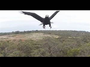 Massive Wedge-Tailed Eagle Uses Her Powerful Talons to ...