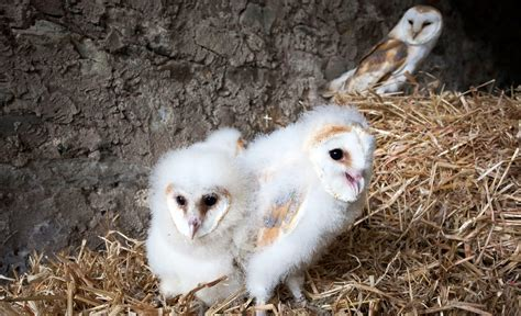 family ties barn owl chicks   hungry siblings eat