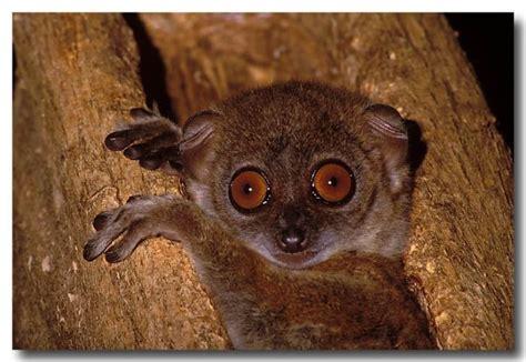 Northern Sportive Lemur Lochman Transparencies