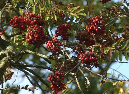 sträucher mit weißen beeren rote beeren essbar rote beeren stockfoto bild frucht