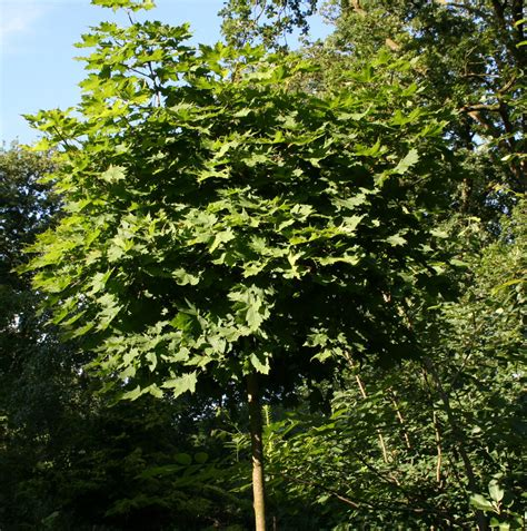 acer platanoides globosum szk 243 łka drzew i krzew 243 w ozdobnych acer platanoides globosum