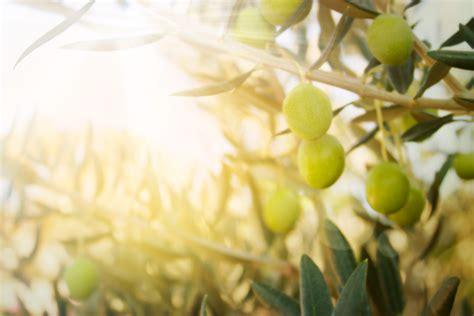 olive tree   nature  persistence goalcast