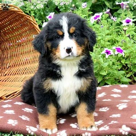 1000 images about bernese mountain dogs on pinterest bernese mountain dogs bernese mountain