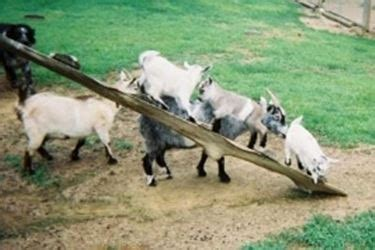 Animali Da Cortile Definizione by Vendita Capre Pecore E Capre