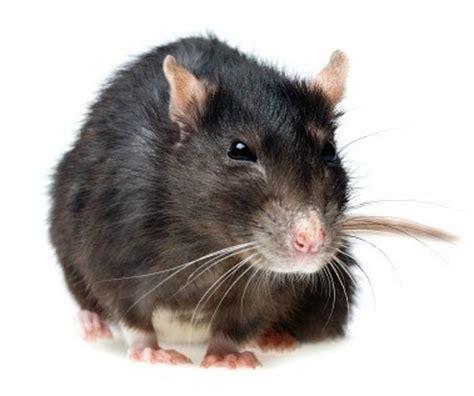 rid  rats   house thriftyfun
