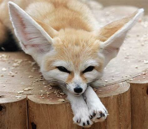 fox pet fennec fox
