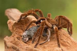 Wanted: Goliath Birdeater - Wanted