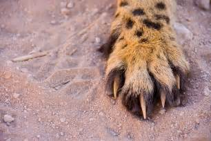 what is cat s claw used for cheetahs blunt semi retractable claws that the
