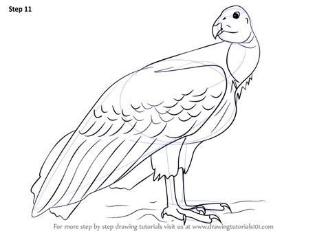 step  step   draw  california condor
