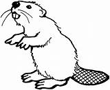 Beaver Coloring Pages Animals Teeth Wildlife Beavers Printable Animal Cute Drawings Bever Castor Drawn American sketch template
