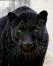 black panther cat best 20 black panthers ideas on panthers