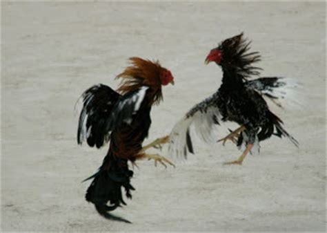 awetya images roosters fighting pictures