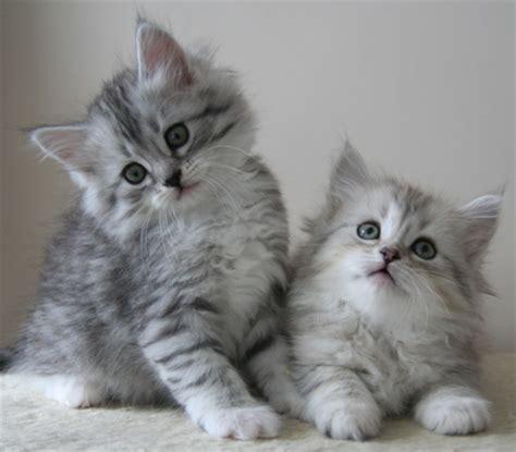 siberian cat hair shedding фото котят сибирской кошки сибирские котята фото
