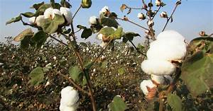 Dramatic Failure Of Gm Cotton In India  U2013 Farmers And