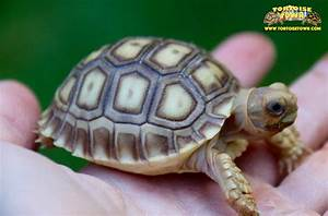 sulcata tortoise for sale buy baby sulcata tortoises for ...