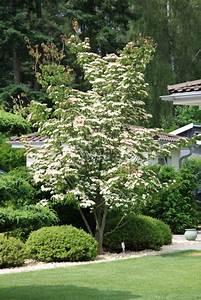 bluten hartriegel cornus florida garten pinterest With französischer balkon mit bäume und sträucher für den garten