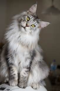 maine coon cat goliath the maine coon by rapunzinette on deviantart