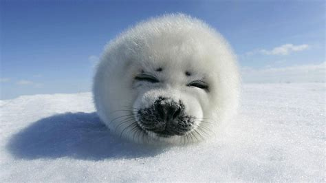 Baby Animals Wallpapers Free - baby seal wallpapers baby animals