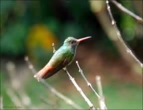 Rufous Tailed Hummingbird | Wonderful Rufous Tailed ...