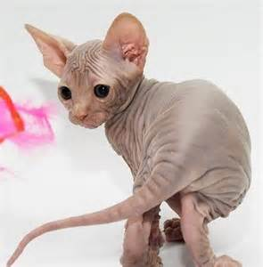sphynx cat for white canadian sphynx kittens for ilford essex