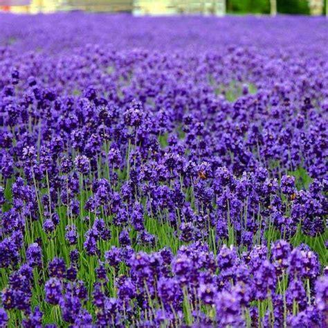 planting lavender seeds 10pcs purple lavender seeds aromatic plant garden plants us 1 29