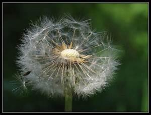 Pusteblume Schwarz Weiß Vögel : pusteblume nd forum f r naturfotografen ~ Orissabook.com Haus und Dekorationen